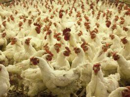 fermă găini, sursă foto hotnews